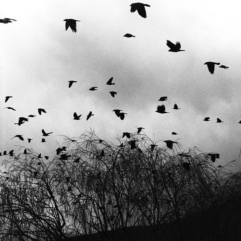 Elton Gllava Corvi volano in cerca di alberi dove passare la notte
