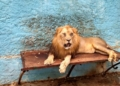 Lion At The Safari Park Fier Zoo Albania