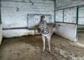 Zebra At The Safari Park Fier Zoo Albania