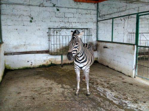 Zebra Al Safari Park Zoo Di Fier Albania