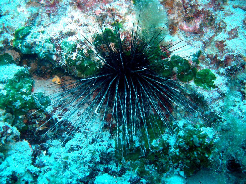 The Sea Urchin Centrostephanus Longispinus